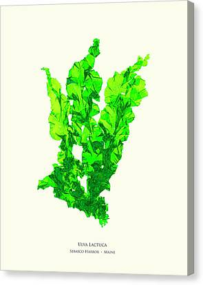 Epiphyte Canvas Print - Pressed Seaweed Print, Ulva Lactuca, Sebasco Harbor, Maine. #30 by John Ewen