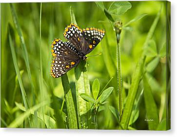Baltimore Checkerspot Butterfly I Canvas Print