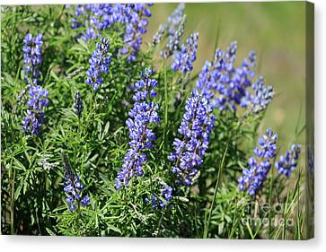 Pretty Blue Flowers Of Silky Lupine Canvas Print by Louise Heusinkveld