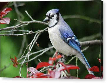 Pretty Blue Jay Canvas Print by Trina Ansel