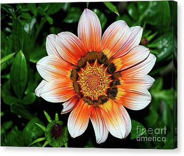 Canvas Print featuring the photograph Pretty Gazania By Kaye Menner by Kaye Menner