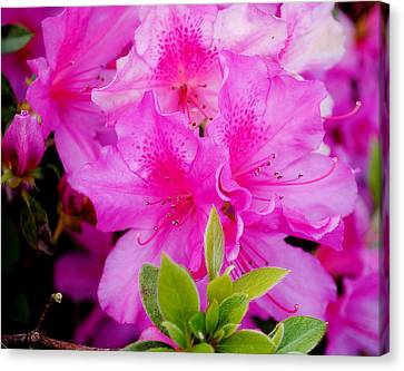 Canvas Print featuring the photograph Pretty In Pink by Laura DAddona