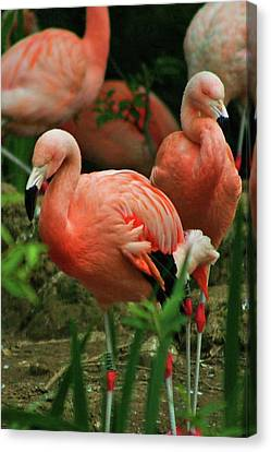 Pretty In Pink Canvas Print by Martina Fagan
