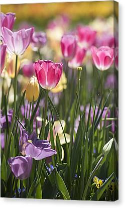 Pretty In Pink Tulips Canvas Print