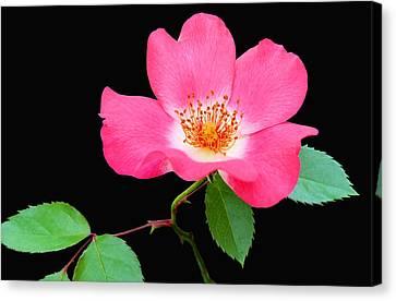 Pink Primroses Canvas Print - Pretty Prim by Kristin Elmquist