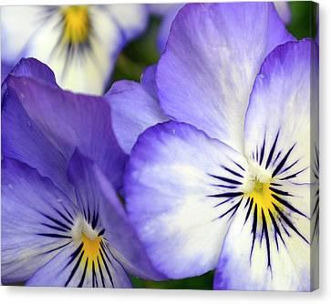 Pretty Violas Canvas Print by Ann Bridges