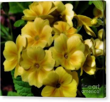 Pretty Yellow Primrose Canvas Print