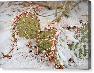 Canvas Print featuring the photograph Prickley Pear Cactus by Donna Greene