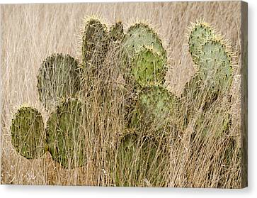 Prickly Pear Cactus In The Grass. Canvas Print by Rob Huntley