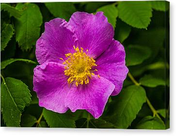 Prickly Wild Rose Canvas Print by Le Phuoc