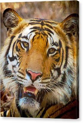 Prime Tiger Canvas Print by David Beebe