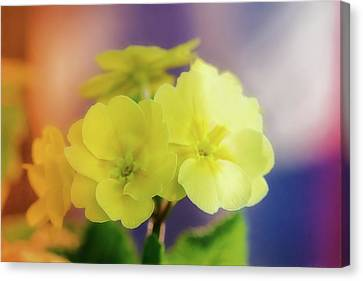 Primrose Bright Canvas Print
