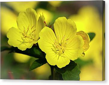 Primrose Flowers Canvas Print by Christina Rollo