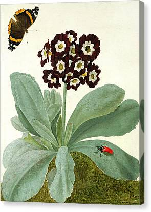Primula Auricula With Butterfly And Beetle Canvas Print