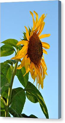 Profile Of A Sunflower Canvas Print by Kathleen Sartoris