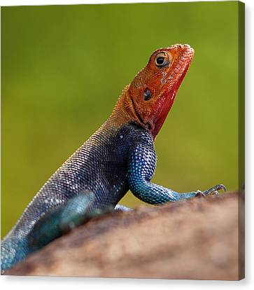 Profile Of Male Red-headed Rock Agama Canvas Print by Achim Mittler, Frankfurt am Main