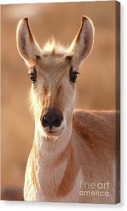 Pronghorn Antelope Doe In Soft Light Canvas Print by Max Allen