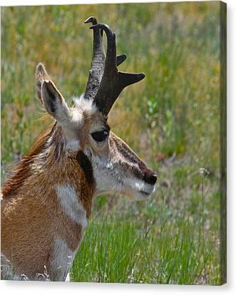 Pronghorn Buck Profile Canvas Print by Karon Melillo DeVega