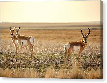 Pronghorn Pose Canvas Print by Todd Klassy