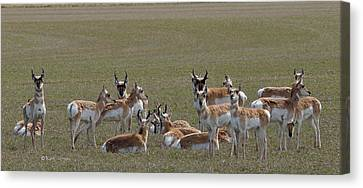 Canvas Print featuring the photograph Pronghorns On Alert by Kae Cheatham