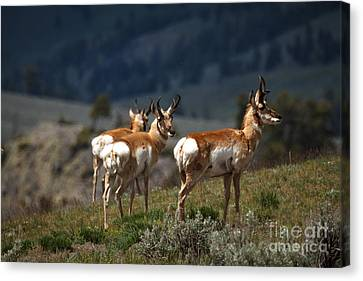 Pronghorns Canvas Print