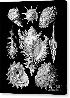 Prosobranchia, Vintage Sea Life Mollusca And Gastropods Illustration Canvas Print