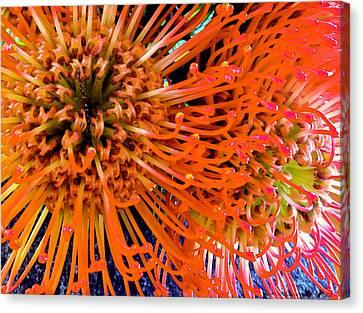 Protea Punctata 261 Canvas Print