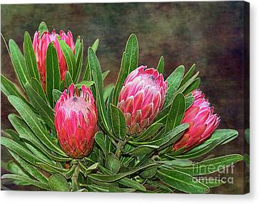 Proteas In Bloom By Kaye Menner Canvas Print by Kaye Menner