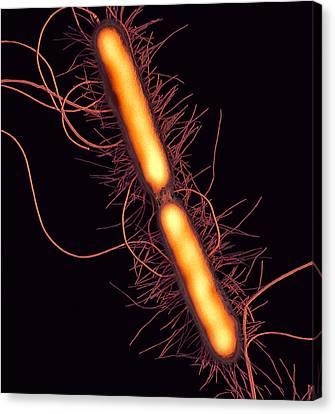 Proteus Vulgaris Bacteria, Sem Canvas Print by Thomas Deerinck, Ncmir