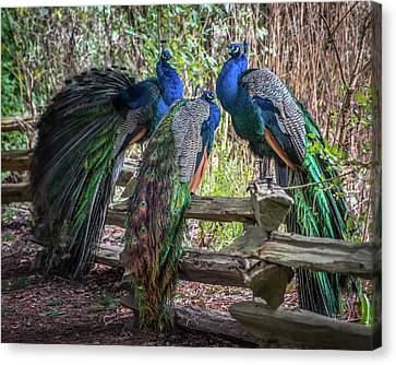 Proud As Three Peacocks Canvas Print by Keith Boone