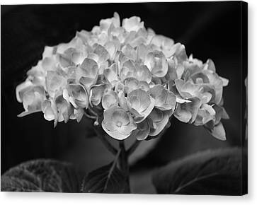 Proud Blue Hydrangea Black And White Canvas Print by Sandi OReilly