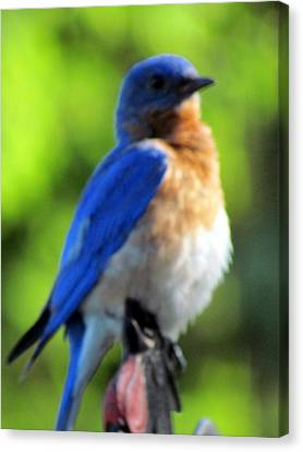 Proud Bluebird Out Kitchen Window Canvas Print by Betty Pieper