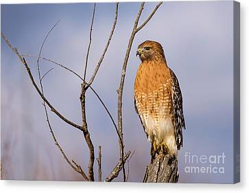 Proud Profile Canvas Print by Charles Hite