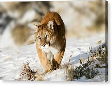 Prowling Mountain Lion Canvas Print