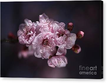 Prunus A Pink Spring Canvas Print by Joy Watson
