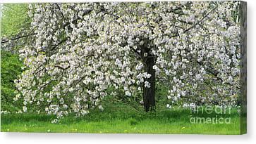 Prunus Choshu Hizakura  Canvas Print by Tim Gainey