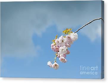 Prunus Ichiyo Blossom  Canvas Print by Tim Gainey
