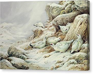 Flock Of Birds Canvas Print - Ptarmigan In Snow Covered Landscape by Carl Donner