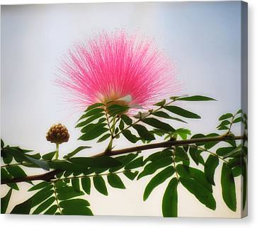 Puff Of Pink - Mimosa Flower Canvas Print