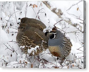 Puffed Winter Quail Family Canvas Print