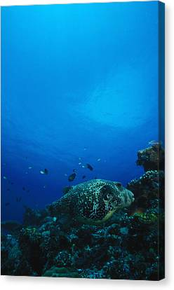 Pufferfish On Coral Reef Canvas Print by James Forte