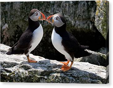Puffin Love Canvas Print by Brent L Ander