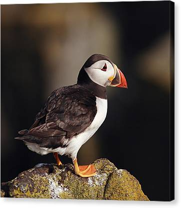 Puffin On Rock Canvas Print by Grant Glendinning