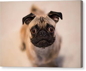 Canvas Print featuring the photograph Pug Dog by Laura Fasulo