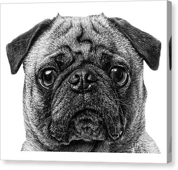 Pug T-shirt Canvas Print by Edward Fielding