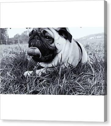 #pugstagram #pugsofinstagram #puglife Canvas Print by Natalie Anne