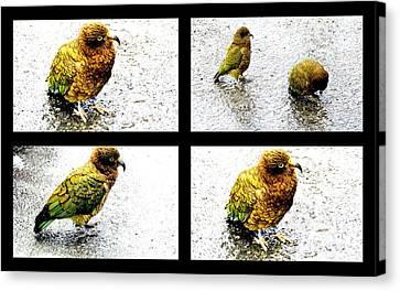 Canvas Print -  Pukeko Bird.      by Joyce Woodhouse