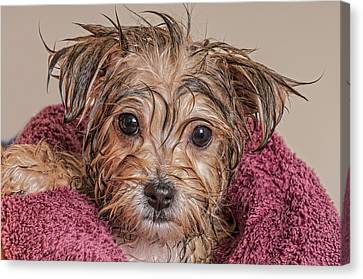 Puppy Getting Dry After His Bath Canvas Print