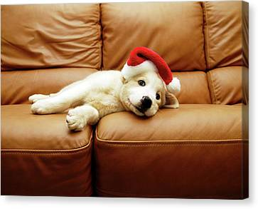 Puppy Wears A Christmas Hat, Lounges On Sofa Canvas Print by Karina Santos