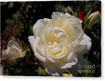 Canvas Print featuring the photograph Pure Beauty by David Bishop